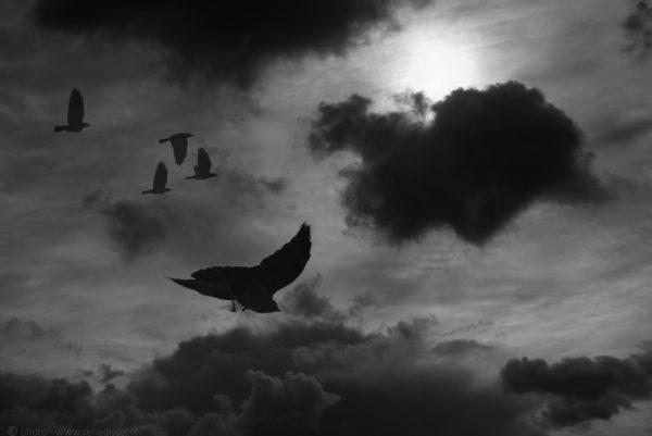 _DSC4554-Editblack crows_LRdisfoto